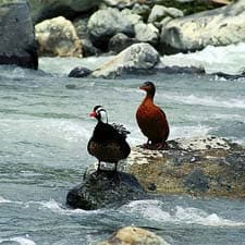 Torrent Duck on the Inca Trail